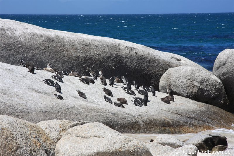 Pinguine in Bolders Bay
