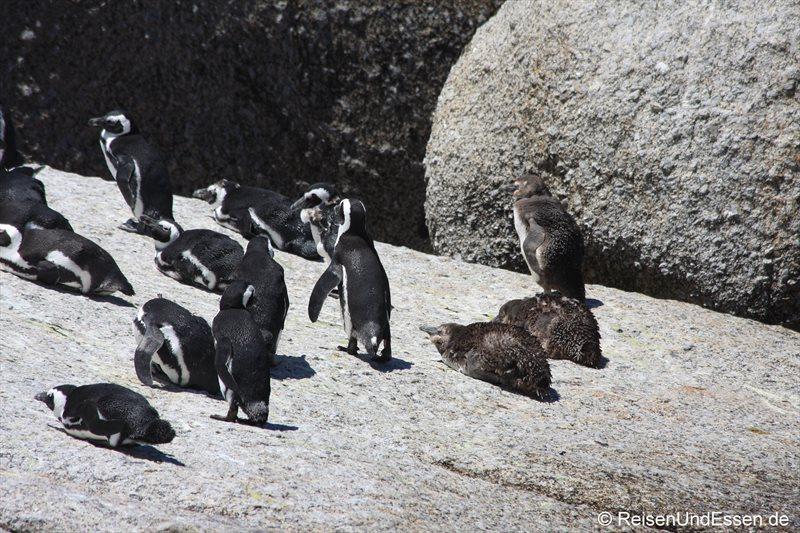 Pinguinkolonie mit Jungen in Bolders Bay