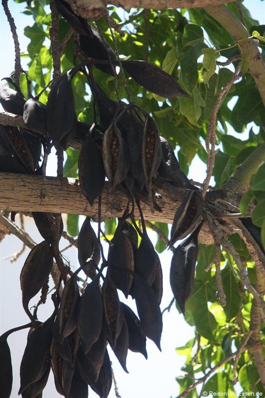 Baum mit Früchten in Montagu