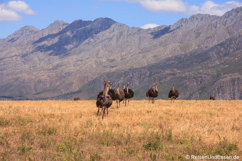 Strausse auf dem Weg Richtung Swartberg Pass
