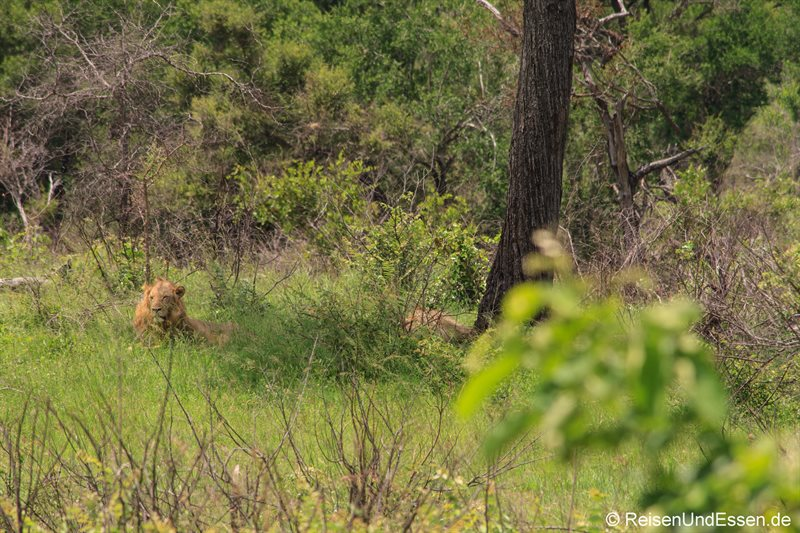 Löwe im Gras im Krüger Nationalpark
