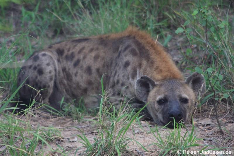 Hyäne ruht sich aus
