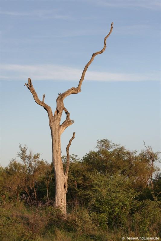 Baumgerippe im Krüger Nationalpark