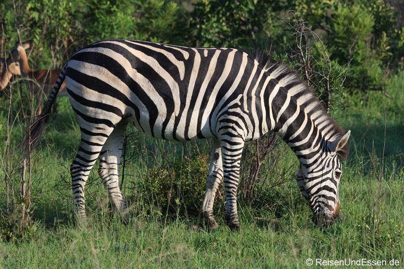 Zebra beim Grasen