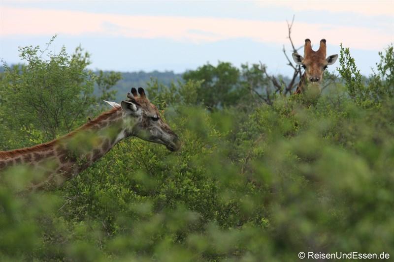 Zwei Giraffen in (hinter) Büschen und Bäumen