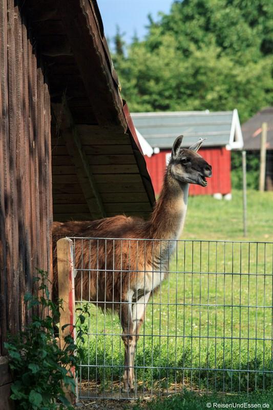 Lama im Wildpark Bad Marienberg
