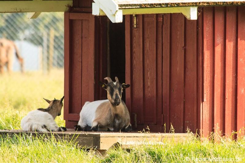 Ziegen im Wildpark Bad Marienberg