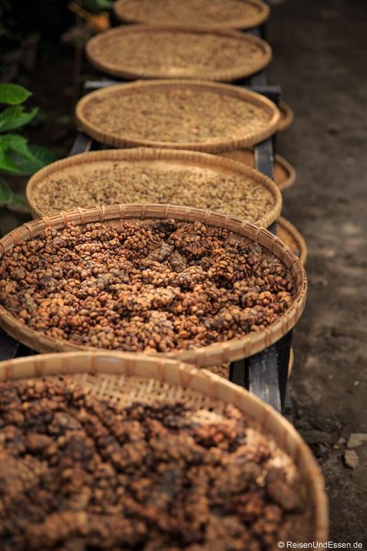 Ausgeschiedene Kaffeebohnen für den Katzenkaffee und Verarbeitungsschritte