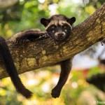 Kopi Luwak – Alles was du darüber wissen musst