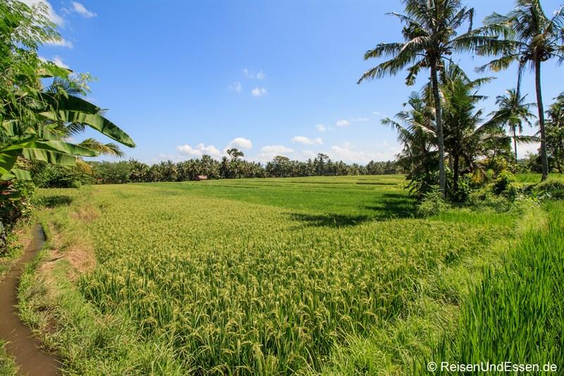 Reisfelder beim Rundgang durch Ubud