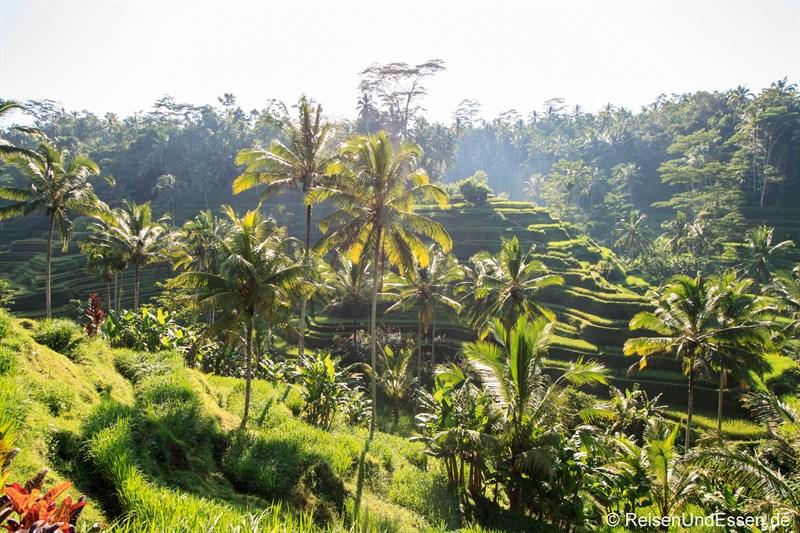 Blick auf die Reisterrassen von Tegalalang