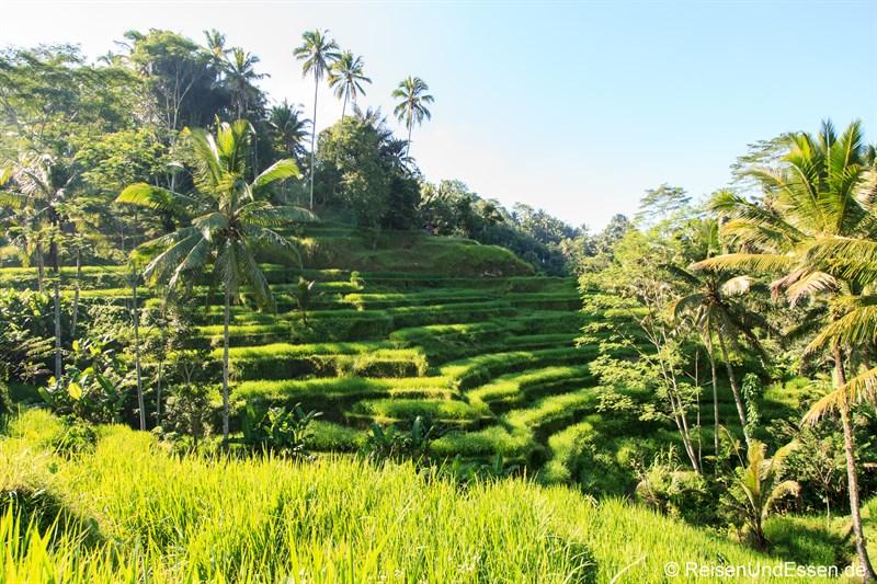Reisterrassen von Tegalalang