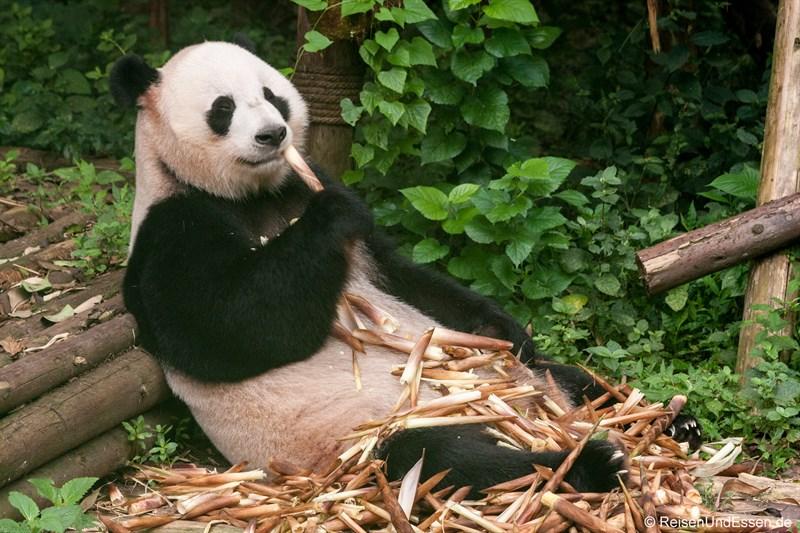 Mein Besuch bei den Panda in Chengdu