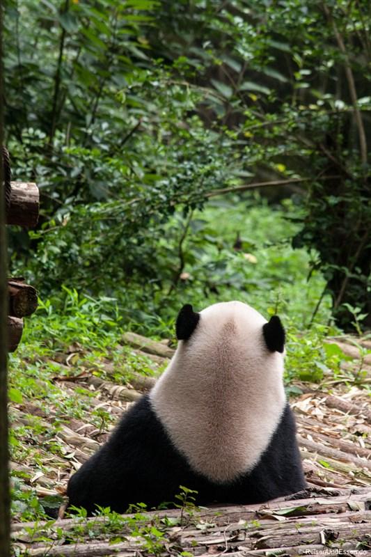 Grosser Panda beim Relaxen