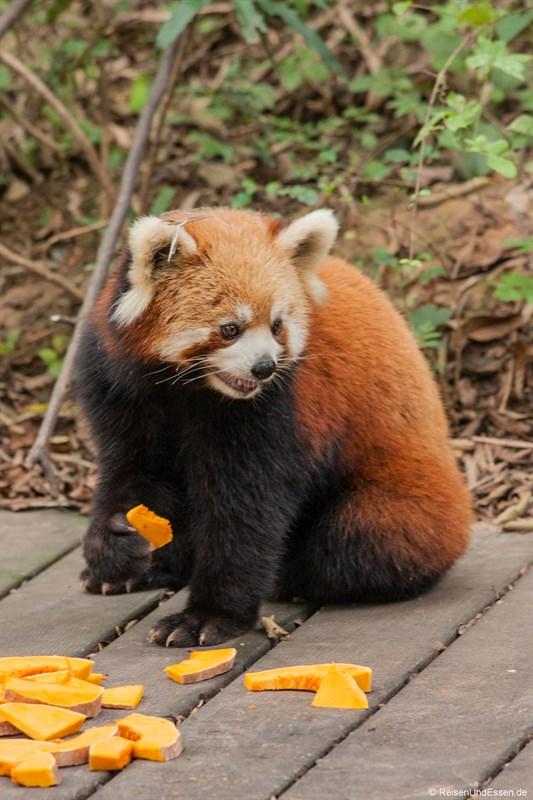 Kleiner Panda in Chengdu