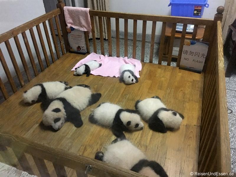 Baby Panda in der Aufzuchtstation