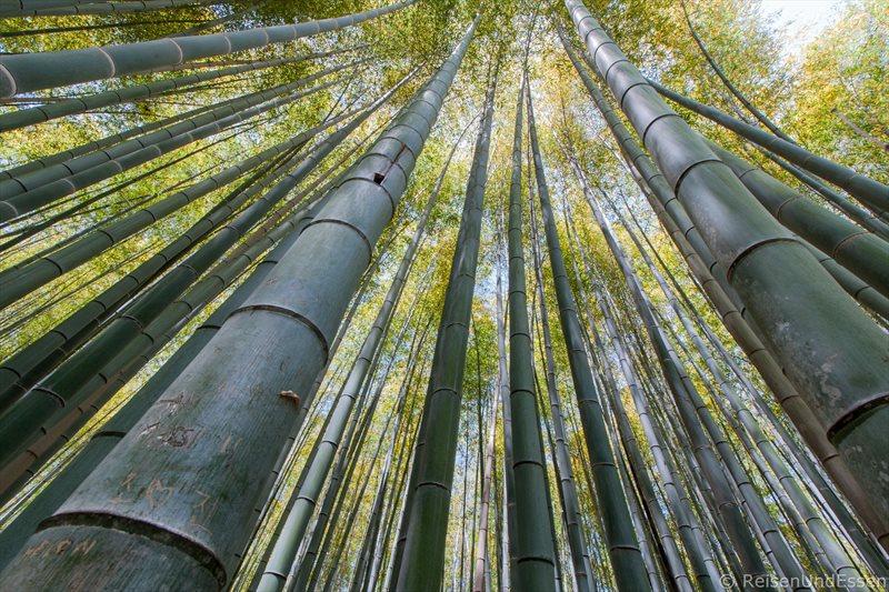 Blick in die Wipfel der Bambusbäume bei Tenryu-ji in Kyoto