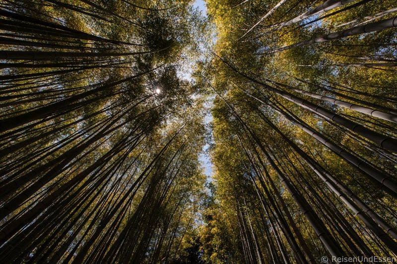 Blick in die Wipfel der Bambusbäume