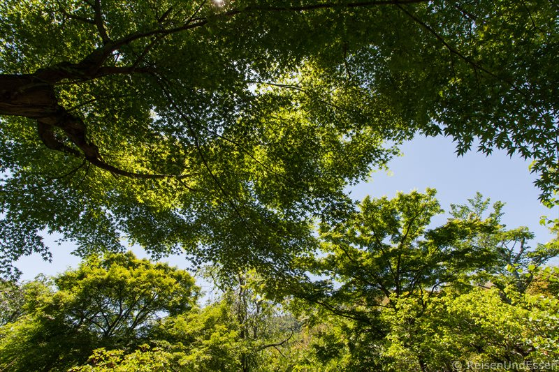 Japanischer Ahornbaum in Tenryi-ji