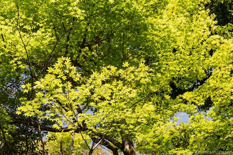 Japanischer Ahorn im Ginkaku-ji