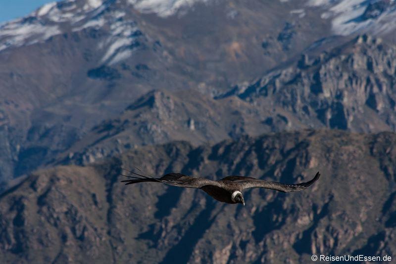 Flug des Condor über dem Colca Canyon