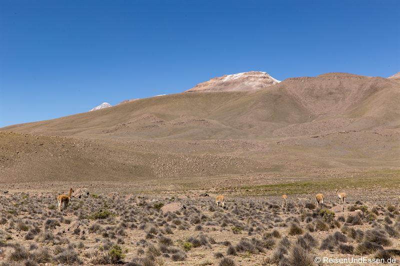 Alpakas auf dem Altiplano