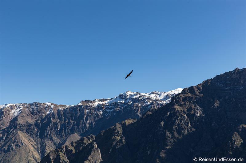 Condor beim Cruz del Condor