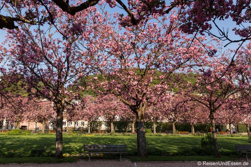 Japanische Kirschbäume in Blüte im Kurgarten von Berchtesgaden