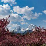 Berchtesgaden – Japanische Kirschblüte, Watzmann und Königssee