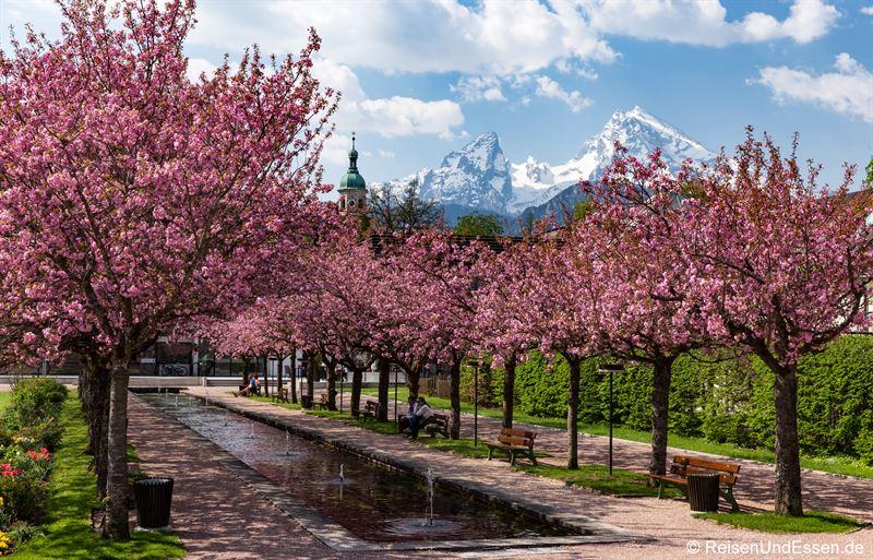 Watzmann und Kirschblüte in Berchtesgaden