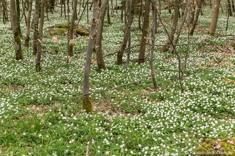 Erste Blüten im Steigerwald