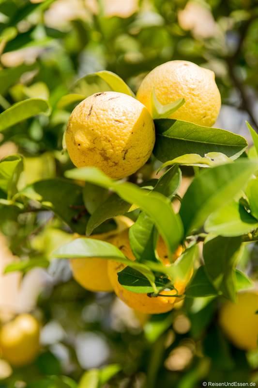 Zitrone im Orangenparterre in den Herrenhäuser Gärten