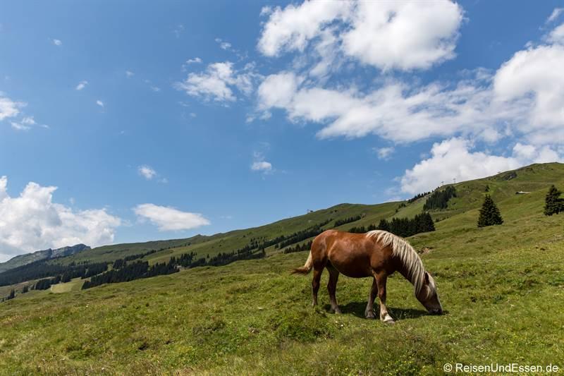 Pferde auf der Almwiese in Hinterglemm