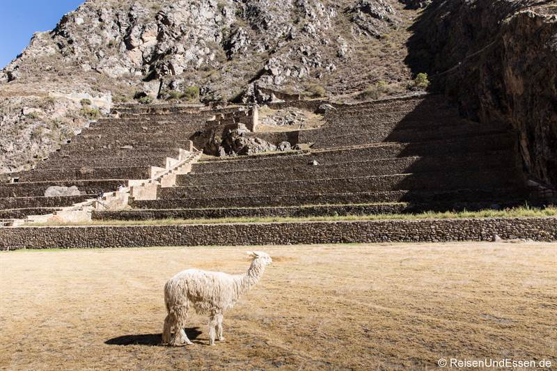 Lama in den Inkaruinen in Ollantaytambo