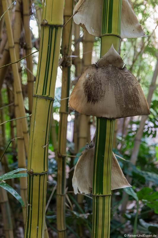 Bambus im Jardin Majorelle in Marrakesch