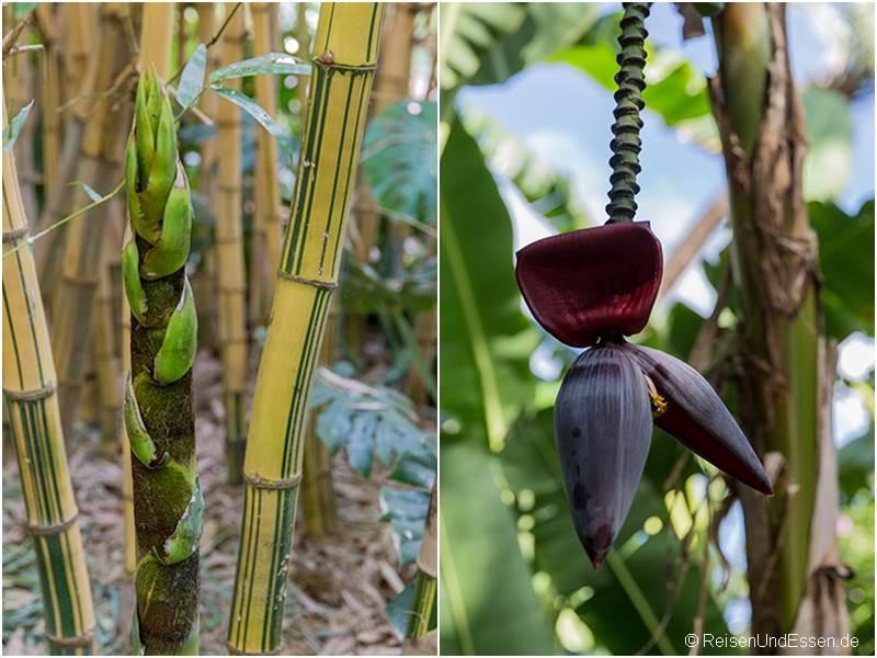 Bambus und Bananenblüte im Jardin Majorelle in Marrakesch