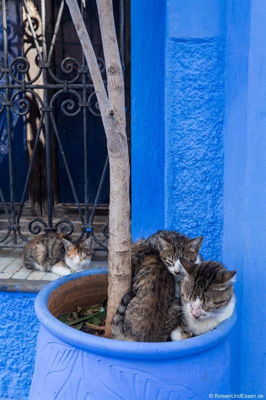 Junge Katzen in Chefchaouen