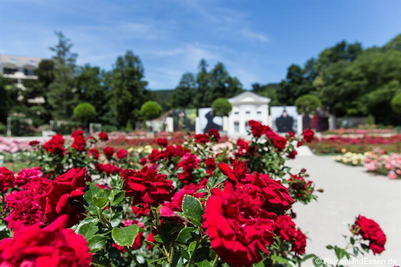 Wunderschöne Rosen im Rosarium vor der Orangerie