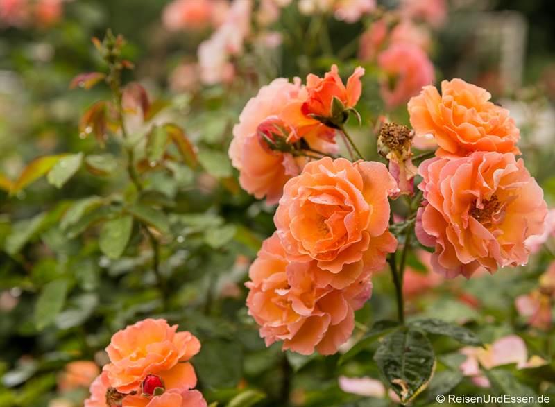 Blühende Rose im Rosarium in Baden bei Wien