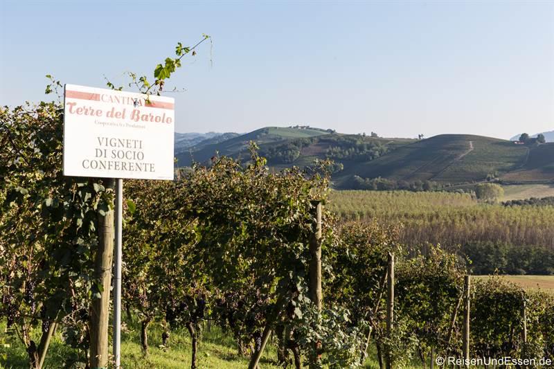 Reben von Barolo in Langhe im Piemont