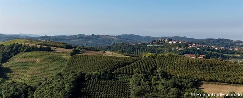 Haselnussbäume in der Langhe Alto im Piemont
