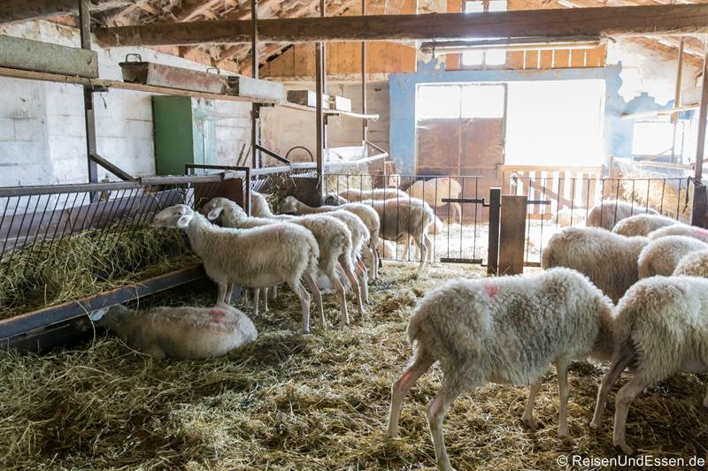Schafe in der Cascina Pistone Formaggi in Langhe