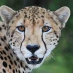 Auge in Auge mit dem Gepard im Krüger Nationalpark