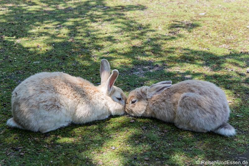 Zwei Hasen, die sich mögen - Haseninsel in Japan