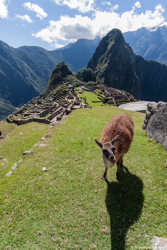 Neugieriger Alpaka