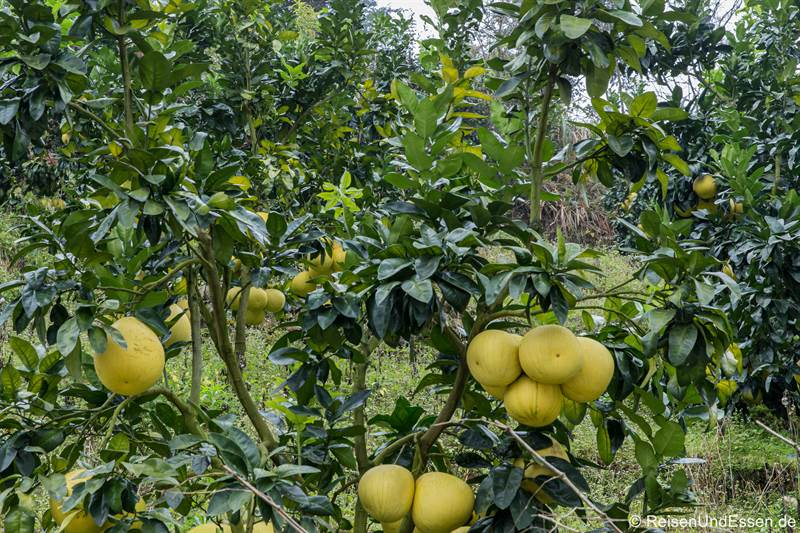 Anbau von Pomleo in der Provinz Fujian in China