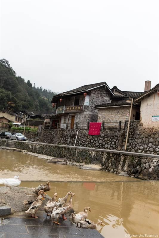 Enten am Fluss in Shunqinglou in der Provinz Fujian