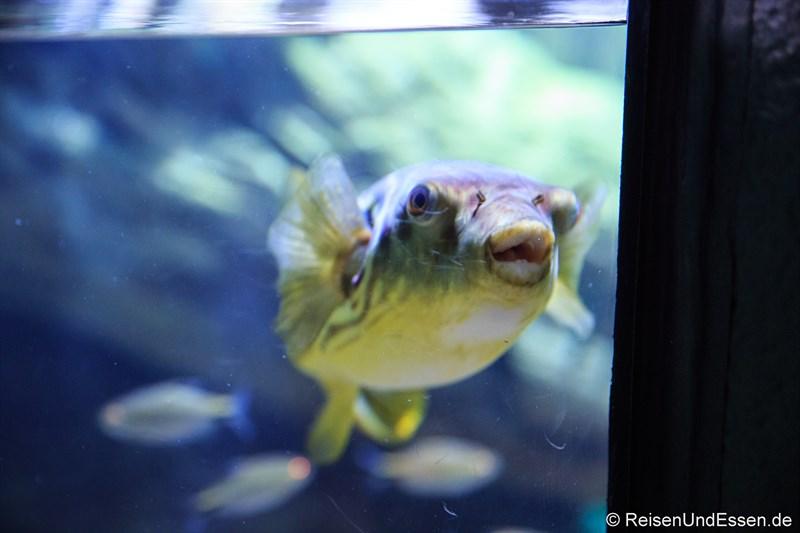 Neugieriger Blick eines Kugelfisch