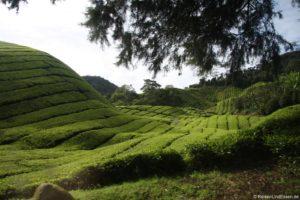Teeplantagen in den Cameron Highlands in Malaysia